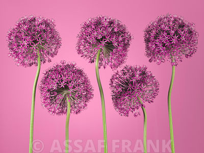 Allium flowers
