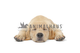 Yellow lab puppy sleeping on white background