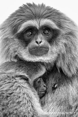 Silvery Gibbon and Baby