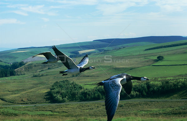 Barnacle geese {Branta leucopsis} in flight, imprinted geese trained to fly beside car, captive, UK