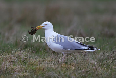 European Herring Gull (Larus argentatus ssp argenteus) holding a live crab in its bill - very carefully - Fetlar, Shetland