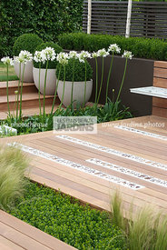 Agapanthus, Buxus, Contemporary garden, Perennial, Perennial rhizome, White, Common Box, Wooden Terrace, Digital