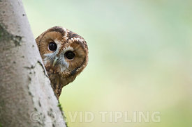 Tawny Owl  Strix aluco, Oxfordshire autumn (C)
