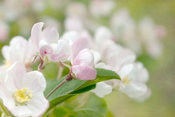 Soft freshness of apple blossom