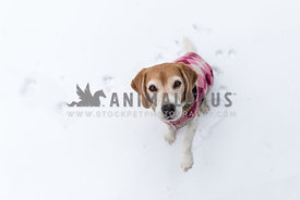 Beagle wearing coat in snow
