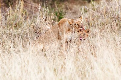 Lioness and Cub Cleaning after Dinner