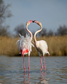 Greater Flamingos Phoenicopterus roseus two males sparring in spring Camargue France