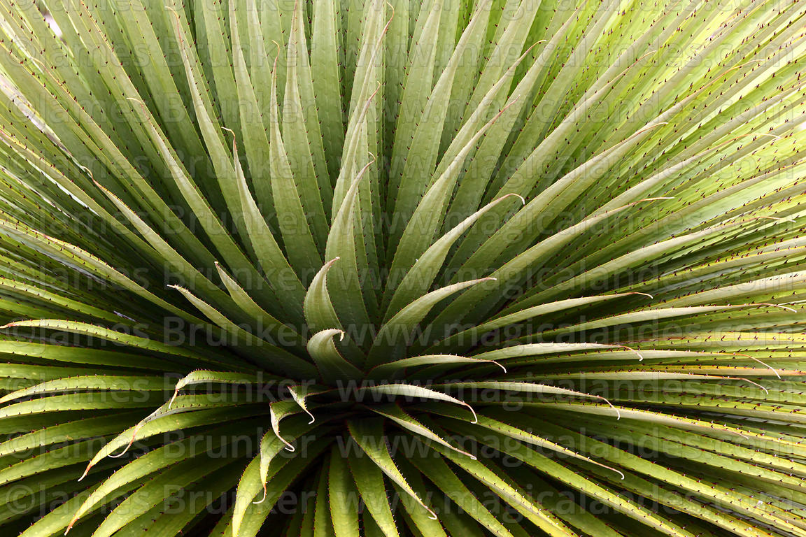 Close up of the rosette formed by the long, spiky leaves at the base of the Puya raimondii plant