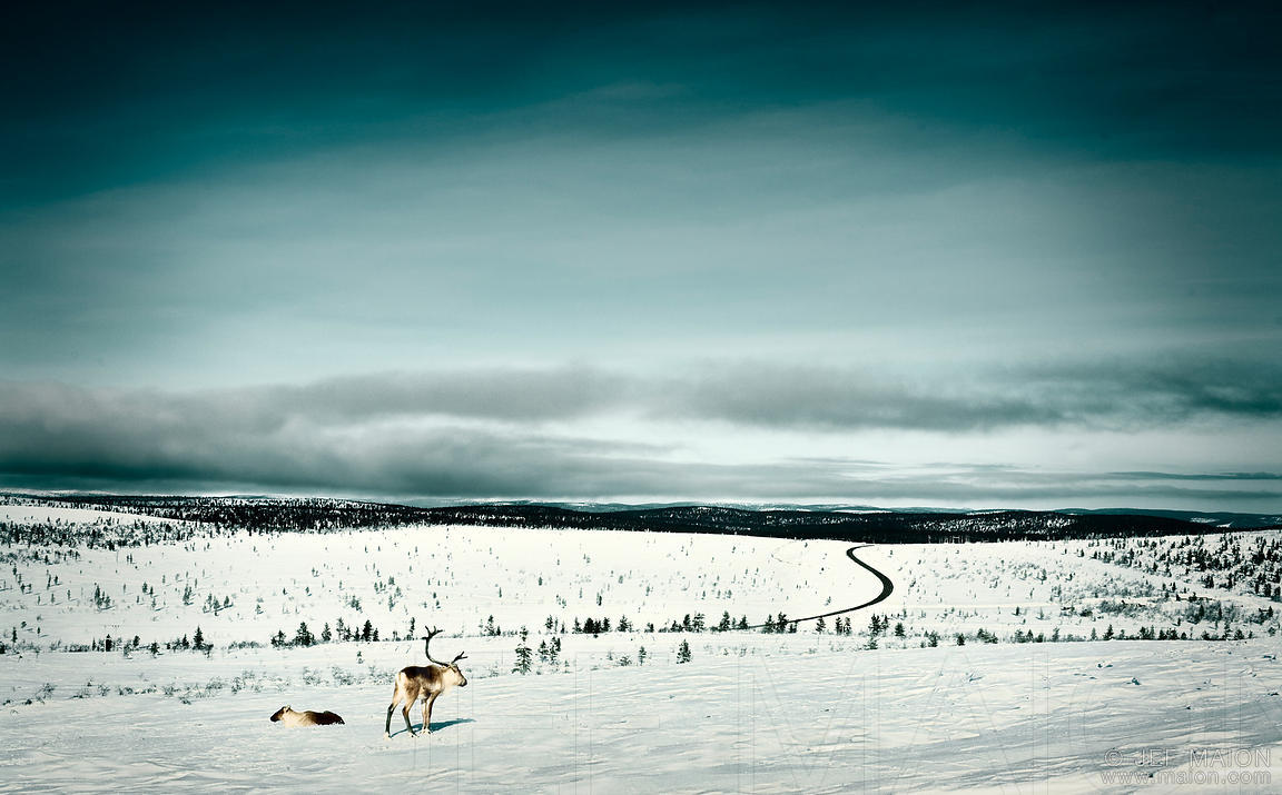 Reindeers looking at winter road