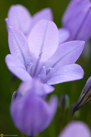 Triteleia at Black Butte Lake #3