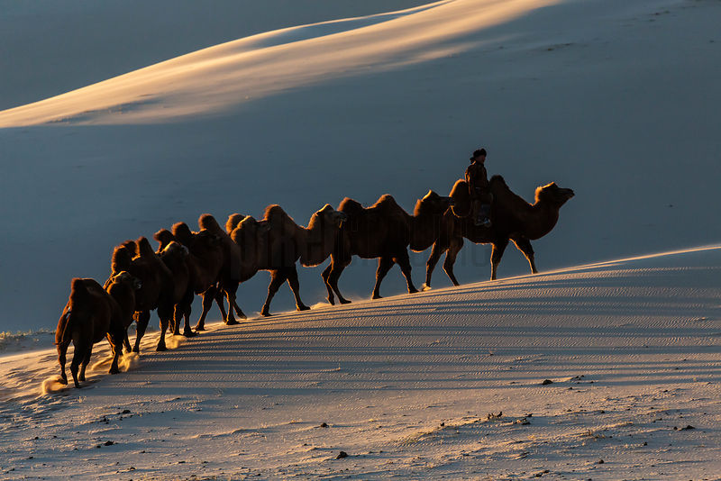 Caravan of Bactrian Camels in Sand Dunes at Sunrise
