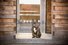 French Bulldog sitting inside doorway of wooden structure