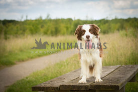 Red and white border collie standing on a wooden platform against a grassy background