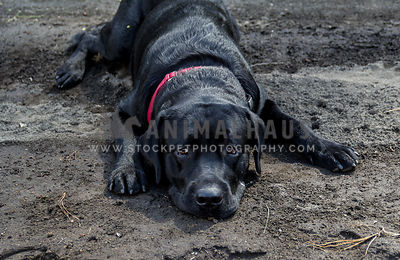 tired black labrador lying on the ground