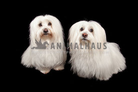 two long haired white dogs against black backdrop
