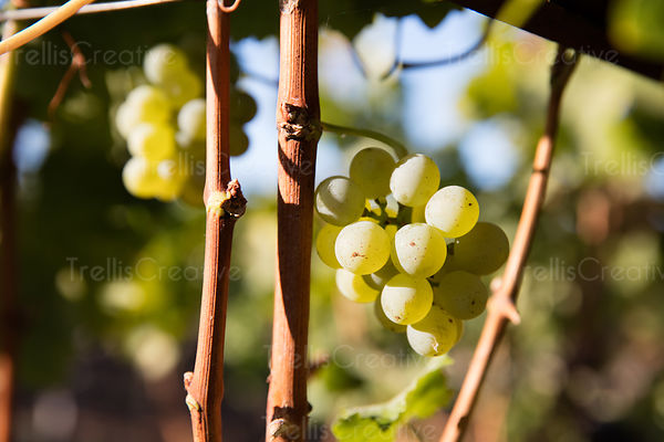 Green grape clusters hanging on grapevine
