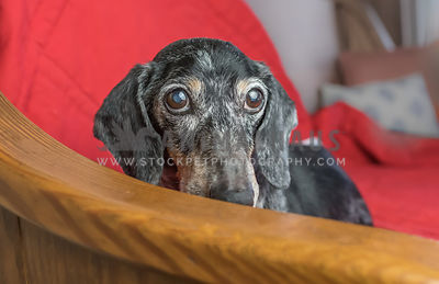 graying dachsund on bench_nose down