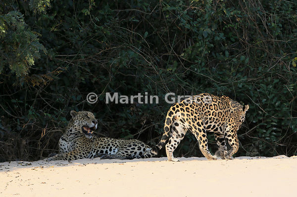 Sixteen minutes later, female Jaguar (Panthera onca) 'Hunter' gets up and walks past 'Hero', Three Brothers River, Northern P...