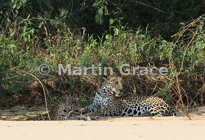 Female Jaguar (Panthera onca) 'Hunter' and male 'Hero' (right) lie down close to each other in partial shade, Three Brothers ...