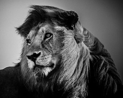 8280-Lion_in_the_wind_2_Tanzania_2007_Laurent_Baheux