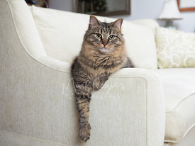 Striped Maine Coon Cat Mix Relaxing on White Sofa with Arm Draping