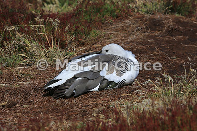 Male Upland Goose (Chloephaga picta leucoptera) resting, Sea Lion Island, Falkland Islands