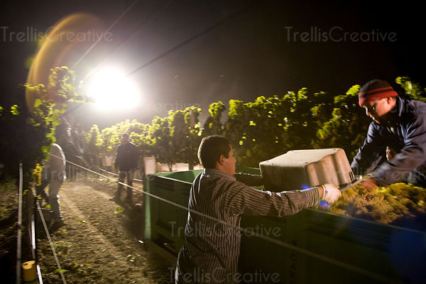 A worker dumps harvested chardonnay grapes into the bin of a tractor during midnight harvest