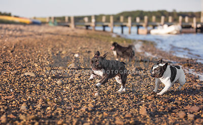 three dogs ,two french bulldogs, running on the beach