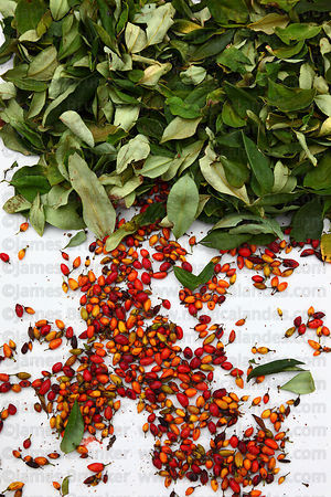 Close up of leaves and seeds of coca plant ( Erythroxylum coca ) on white background