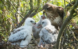 Buzzard Family, Lincolnshire