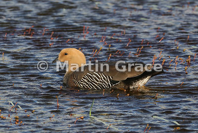 Upland Goose female (Chloephaga picta), Torres del Paine, Patagonia, Chile