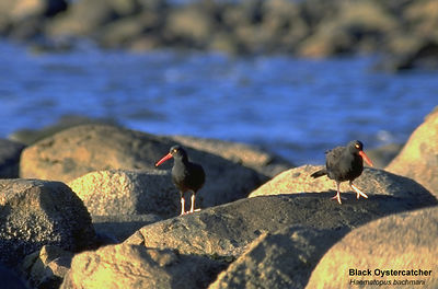 August - Black Oystercatchers