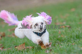 white dog with pink dyed ears and tail running through the grass