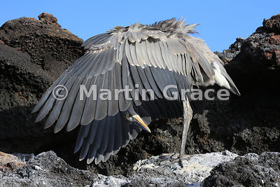 Great Blue Heron (Ardea herodias) shading with its wings, Sombrero Chino, Galapagos Islands