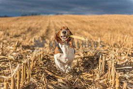 Basset Hound running through corn field with husk in mouth at sunset