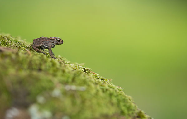 A tiny toadlet found in the garden of the cottage