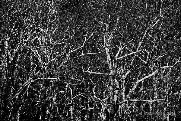 NATURE ABSTRACT GHOST FOREST TWO MILE RUN OVERLOOK SHENANDOAH NATIONAL PARK VIRGINIA BLACK AND WHITE