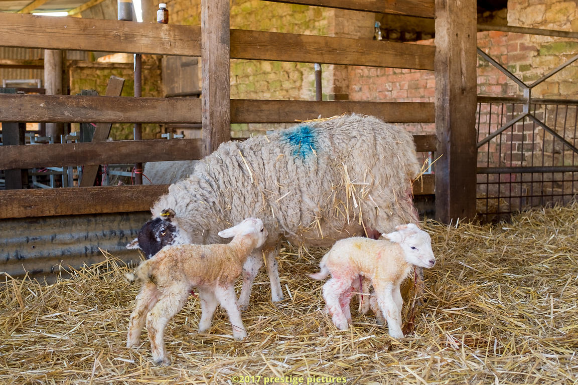 Ewe with her two newborn lambs in a farm pan undercover