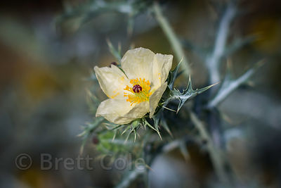 Thar Desert wildflower near Amba village, Rajasthan, India