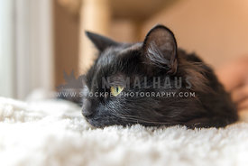 Black rescue cat lying down and looking toward window