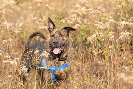 A shepherd dog in autumn field