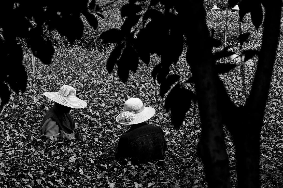 Michael freeman photography tea pickers