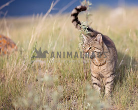 Tabby cat in field