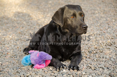 black Labrador adult dog working down stays training in gravel with toy
