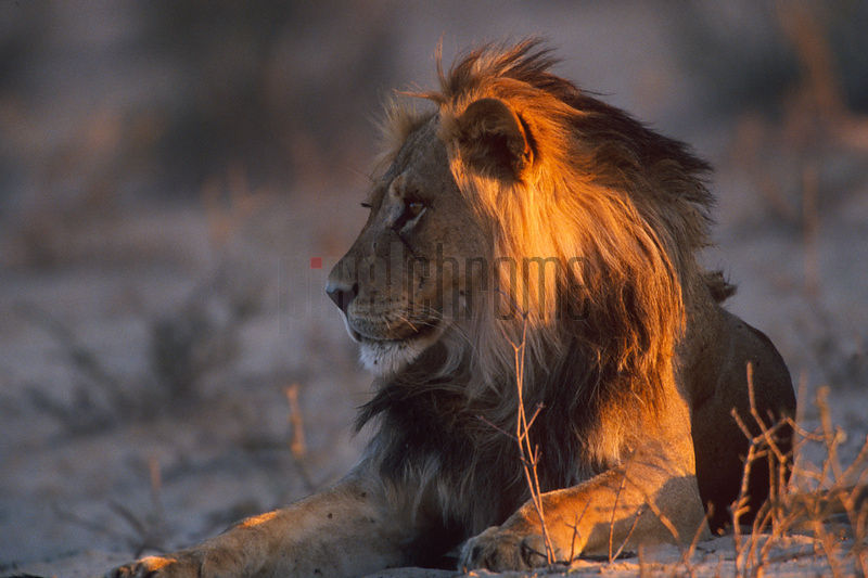 Portrait of Male Lion