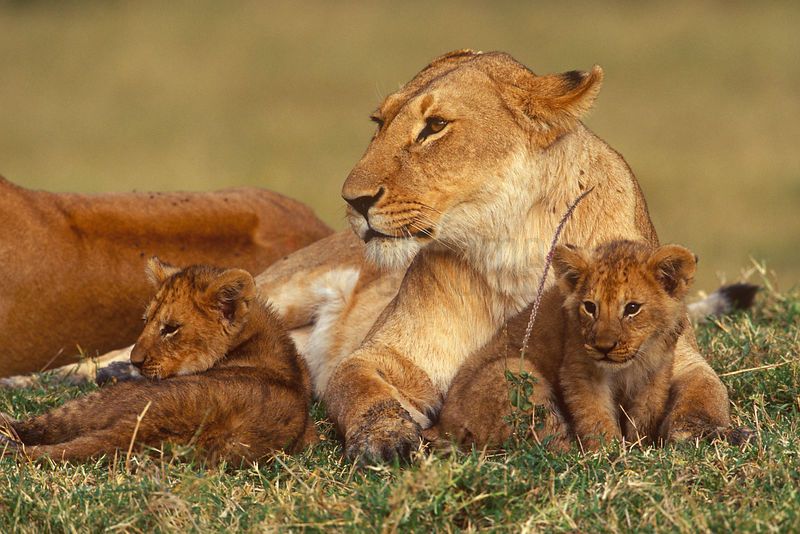 Lioness Caring for her Cubs
