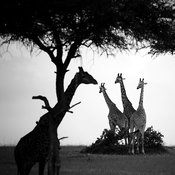 X-Bouquet_of_giraffes_Kenya_2006_Laurent_Baheux