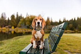 beagle sitting on park bench
