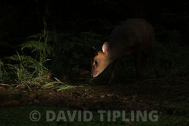 Reeves's muntjac Muntiacus reeves female in woodland at night North Norfolk UK