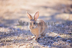 Harlequin bunny sits in the desert